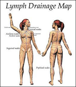 lymph01.jpg
